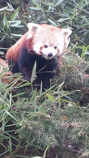 My favourite animal!! (Together with giant pandas) 🐼 Taking Photos Animals Red Panda Panda Zoo Diergaarde Blijdorp Hi! Check This Out