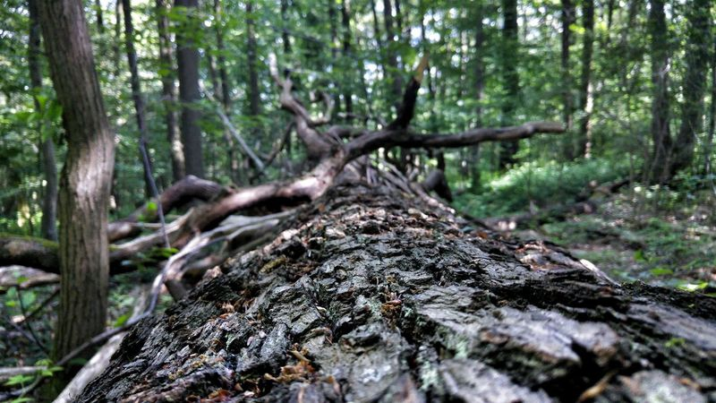 Tree Tree Trunk Forest Nature Outdoors Day No People Beauty In Nature Branch Dead Tree