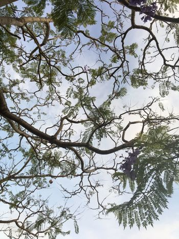 Branching Out Tree Branch Nature Beauty In Nature Day No People Outdoors Sky Flower Jacaranda Leaves EyeEmNewHere Shades Of Winter Visual Creativity