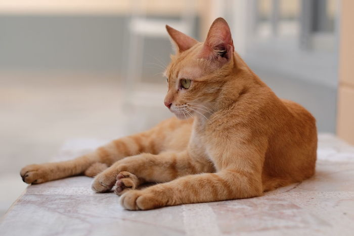 Action Cat Alertness Animal Animal Themes At Home Cat Close-up Cute Cat Domestic Animals Domestic Cat Feline Indoors  Lovely Cat Mammal No People Old Cat One Animal Pets Relaxation Resting Thai Cat Whisker Whiskers Yellow Cat Zoology