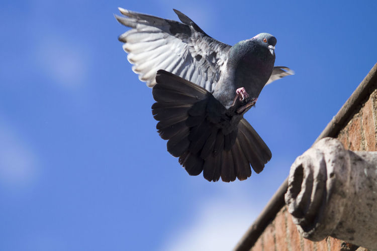 Low angle view of pigeon flying over retaining wall against sky