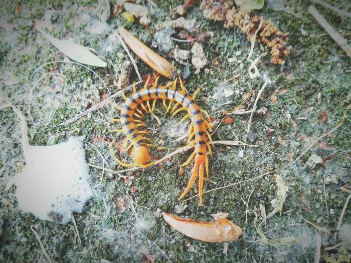 Scolopendra Scolopendridae Park Animal Themes No People Animals In The Wild Day One Animal High Angle View Outdoors Nature Animal Wildlife Grass Beauty In Nature Close-up First Eyeem Photo