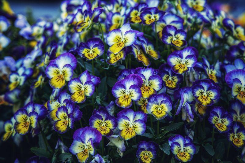 Violas Nature Summer Fresh Violas Garden Flowers Outdoors Flowers