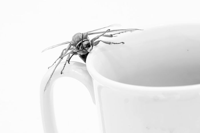 43 Golden Moments Addiction Bnw_friday_eyeemchallenge Cigarette  Close-up Coffee And Cigarettes Coffee Mug Grotesque Handcuffs  High Key Photography High-key Photography Poison Poisonous Rollie Selective Focus Stinger The OO Mission Wasp Macro White White Background Whitewall Fine Art Photography Monochrome Photography