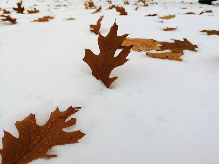 winter on autumn Huaweiphotography Huaweip20pro Oak Leaf Chene Hiver Autumn Autumn Leaves Mood Snow Snow Covered Neige Granby Cantons De L'est Autumn Winter Close-up Covering Snowcapped Cold Cold Temperature Frozen Weather Season
