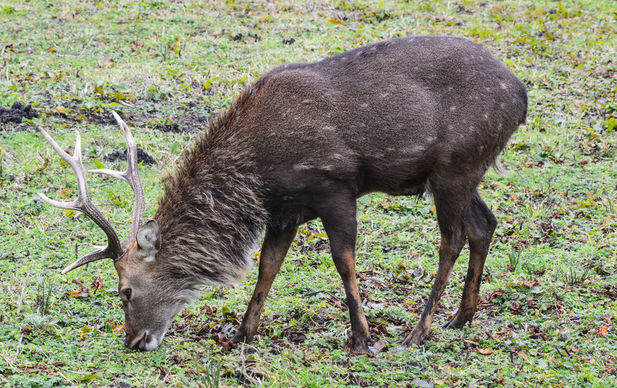 Animal Themes Animals In The Wild Antlers Close-up Day Deer Stag Grass Japanese Deer Japanese Spotted Deer Sika Black Tailed Deer Sika Deer Mammal Nature No People One Animal Outdoors Peak Wildlife Park Spotted Deer Stag