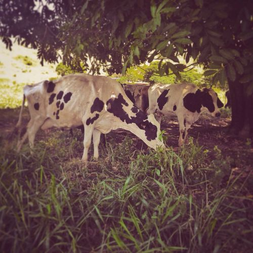 Cown Nature Animals Farm Cool Indie