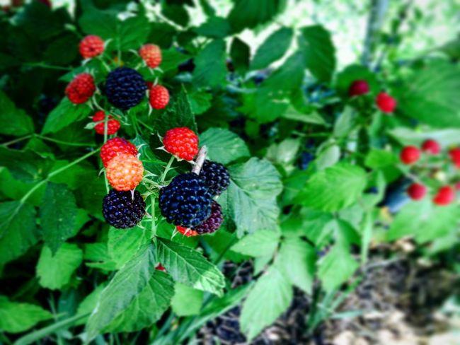 My summer Berry Fruit Season  Summer Red Black Berry Nature Blackberry - Fruit Food