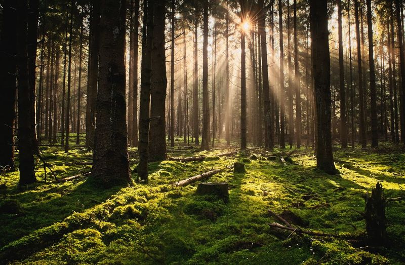 Morning sun Nature_collection Landscape_photography Good Morning Forest Trees Forest Photography Tree Forest Tree Trunk Sunlight WoodLand Pine Tree Pinaceae Grass Sky Landscape Shining Sun Sunbeam Sunrise Sunset Moss Countryside Evergreen Tree Tree Area Silhouette