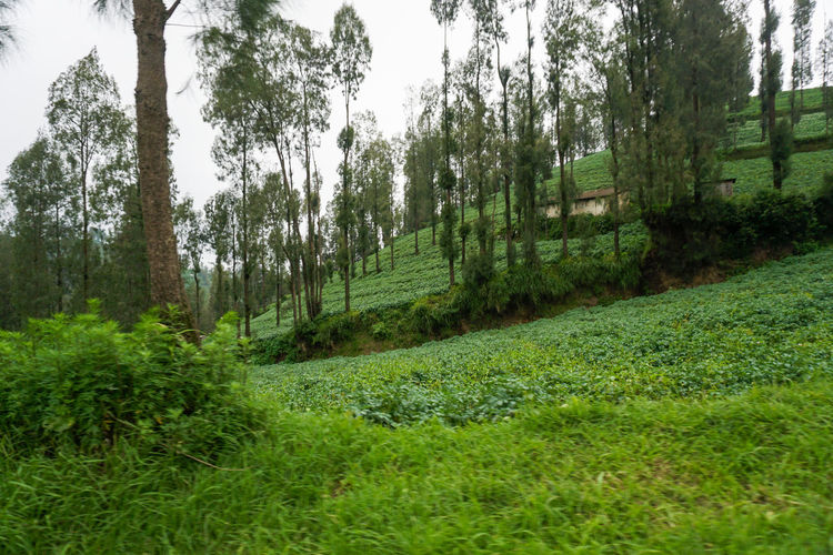 Potato fields on Mount Bromo. Plant Tree Land Growth Green Color Forest Tranquility Beauty In Nature No People Tranquil Scene Nature Scenics - Nature Grass Non-urban Scene Landscape Environment Day Tree Trunk Trunk Lush Foliage Outdoors WoodLand Rainforest Plantation Plant Part