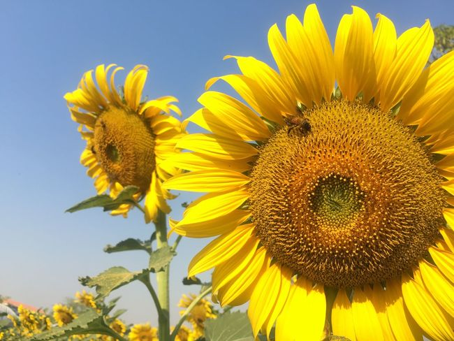 Flower Yellow Beauty In Nature Fragility Nature Petal Sunflower Flower Head Freshness Growth Plant No People Pollen Animal Themes Close-up Blooming Outdoors Day Animals In The Wild One Animal