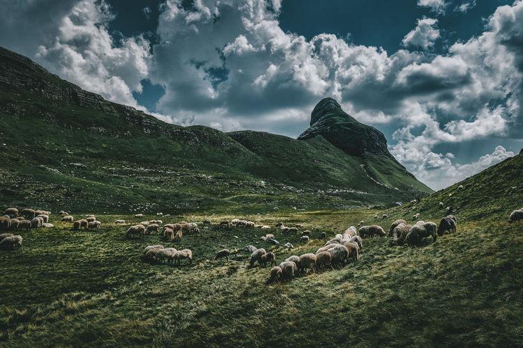 Herd of sheep grazing on field against sky