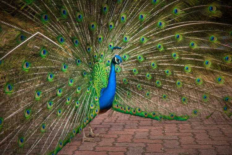 View of peacock