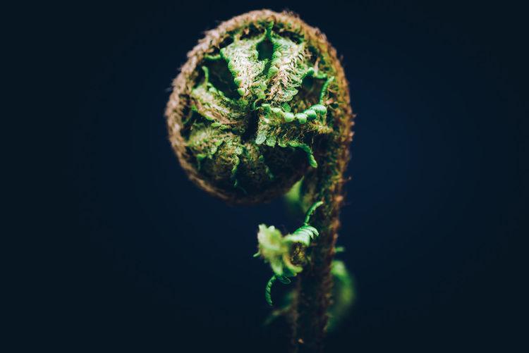 Close-up of fern against black background
