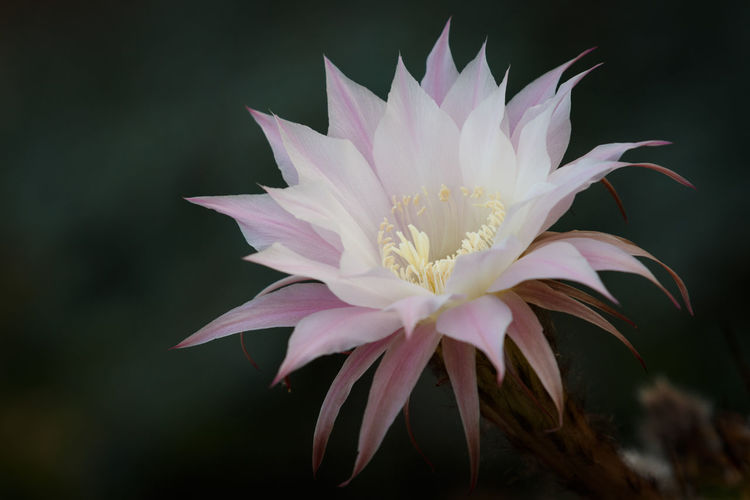 Beautiful Pale White Pink Echinopsis Oxygona Cactus Flower Cactus Cactus Close-up Cactus Flower Copy Space Easter Lily Cactus Striking Beauty Beauty In Nature Blooming Blossoming  Chic Close-up Echinopsis Oxygona Fragility Freshness Funnel-form Flowers Growth Luxurious Nature Nature Outdoors Petal Pink Flower Plant Soft Pastels Tenderness White Cactus Flower