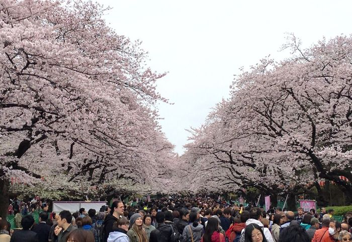 Sakura time Tree Cherry Blossom Large Group Of People Cherry Tree Blossom Springtime Real People Flower Branch Nature Beauty In Nature Leisure Activity Men Freshness Outdoors Women Day Clear Sky Pink Color Lifestyles Sakura Sakura Blossom Tokyo Spring Spring Flowers