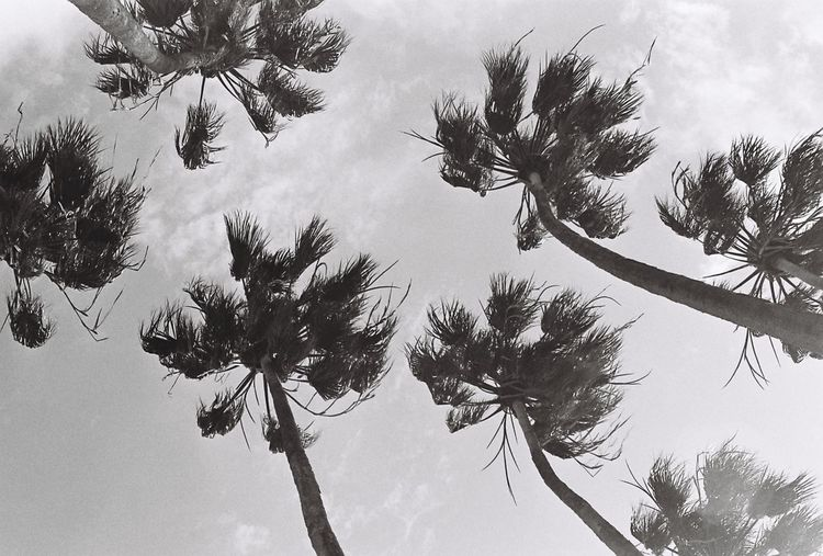 Beauty In Nature Blackandwhite Low Angle View No People Outdoors Palm Tree Sky Tree Tree Trunk