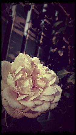 EyeEm Nature Lover Old School Romance Rose🌹 Creme Caramel