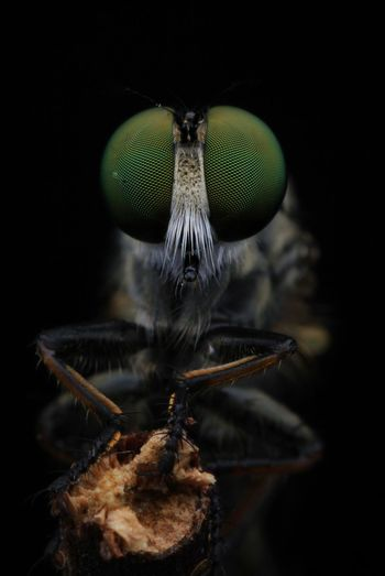 Close-up of fly on black background