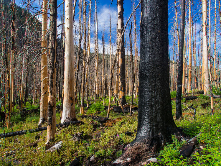 A section of forest regrowing after a forest fire, a large charred tree in the foreground. Rocky Mountain National Park, Colorado. Colorado Growth Rocky Mountain National Park Bare Tree Bare Trees Beauty In Nature Charred Charred Wood Day Forest Forest Fire Growth Landscape Nature No People Outdoors Reforestation Rocky Mountains Scenics Sky Tranquil Scene Tranquility Tree Tree Trunk WoodLand