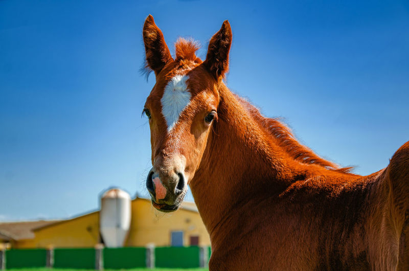 Horse HEAD Blue Sky Beautiful Shot Winter Fold Corral Thoroughbred Beauty Color Black Portrait Face Brown Animal Field Meadow Farm Domestic Mammal Pen Bay Coat Purebred Pasture Cattle Ranch Stallion Equine Equestrian Mane Mare Chestnut Stable Bridle Marking Foal Gelding Reddish Sorrel Snaffle Background Cute Outdoor Grass Sunny Only