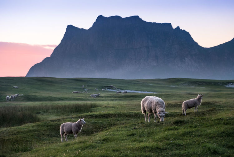 Sheep Grazing On Field Against Mountain During Sunset