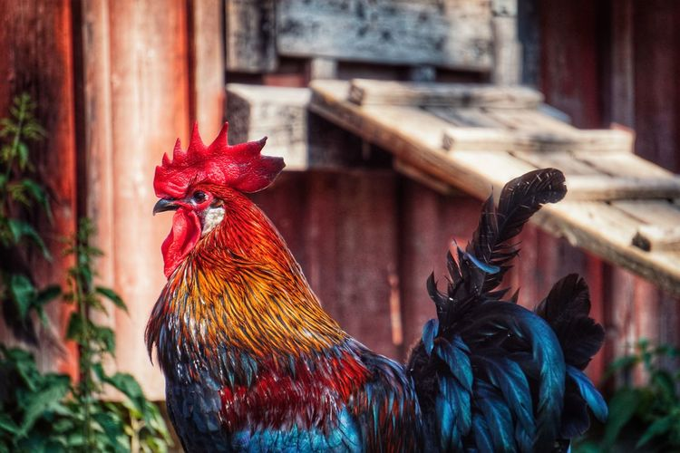 2019 Niklas Storm Juni Bird Cockerel Rooster Rural Scene Agriculture Chicken - Bird Barn Red Poultry Hen Animal Crest Agricultural Building Male Animal Feather  My Best Photo