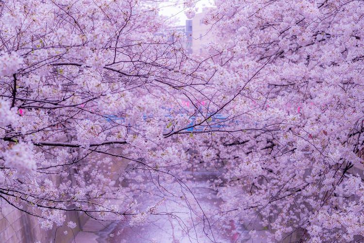 サクラ 桜 目黒川