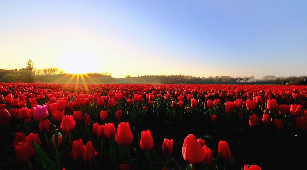 10-24mmWideAngle Fujifilm X-t20 Freshness Tranquility Sunlight Tranquil Scene Landscape Tulip Sunset Fragility Clear Sky Land No People Vulnerability  Growth