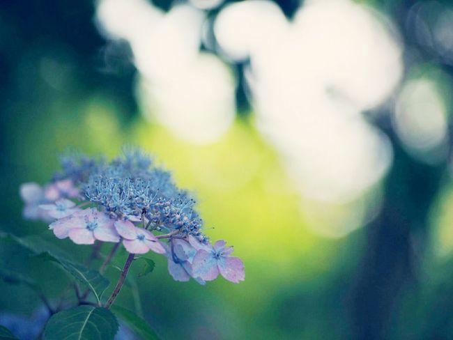 不機嫌な空…心は穏やかに あじさい 山紫陽花 Flower Blueflower Natural Flower Collection EyeEm Nature Lover EyeEm Best Shots EyeEm Gallery