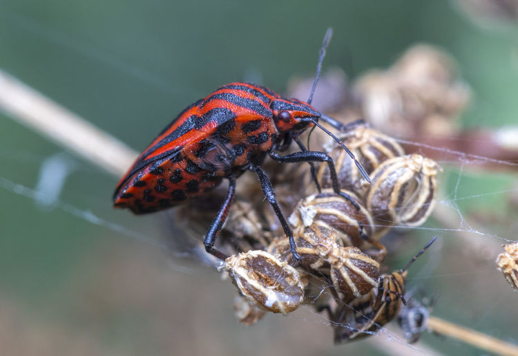 Close-up of a true red and black true bug