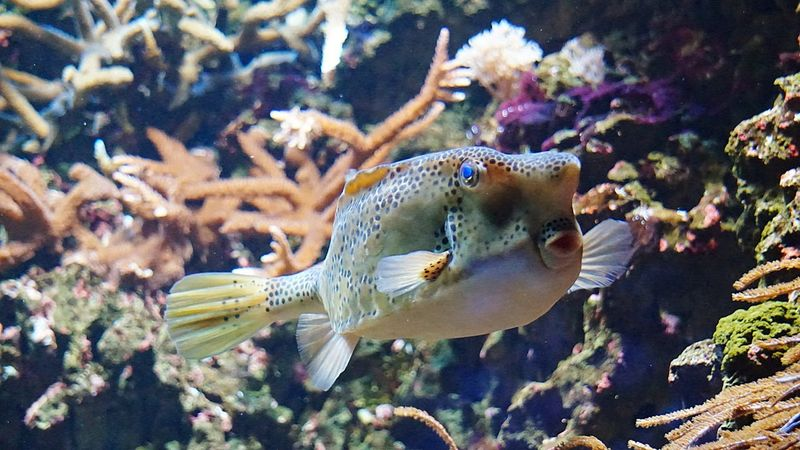 Kofferfisch 🐠🐟 Underwater UnderSea Animal Wildlife Animals In The Wild Sea Life Sea Nature Close-up Animal Themes Water Day No People Swimming Aquarium Life FunnyMoments  Kisses FunnyMoments  FUNNY ANIMALS Zoo Animals  Funny Faces