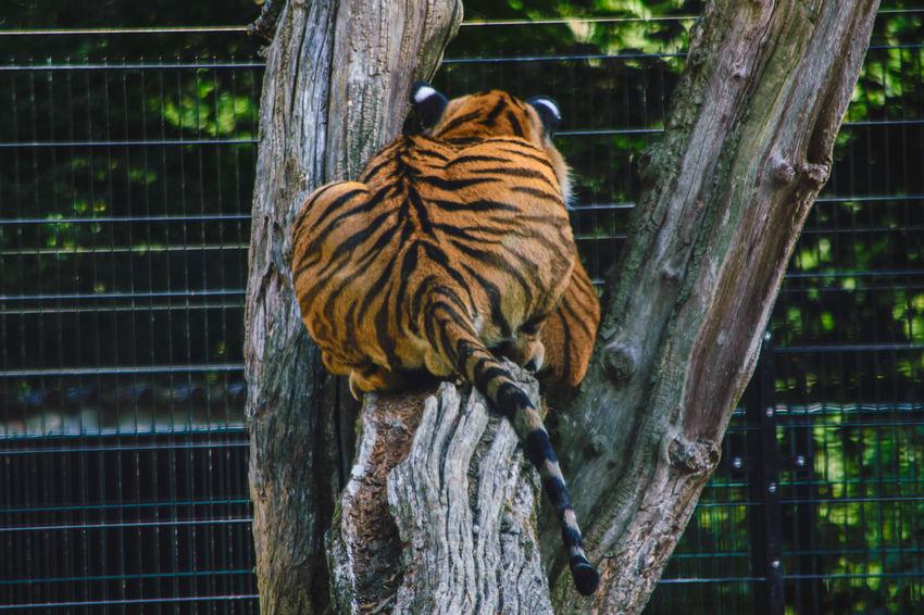 Tiger, relaxter Beobachter (rückwärtige Ansicht) Tiger Baumstämme Liegend Rückenansicht Fellzeichnunag Schwanz Beobachtend Zaun Blätter Backside Cage Close-up Big Cat Animals In Captivity