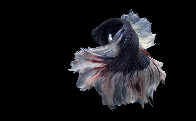 Betta Fish Animal Animal Themes Animal Wildlife Animals In The Wild Betta  Betta Fish Betta Lovers Bettafish Bettafishcommunity Bettas Bettasiamesefish Bird Black Background Close-up Copy Space Cut Out Fish Flying Indoors  Marine Motion Nature No People One Animal Spread Wings Studio Shot Vertebrate Water White Color First Eyeem Photo