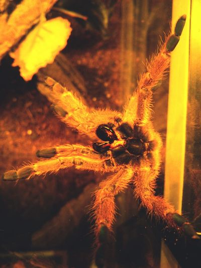 0.1 Orange BABOON tarantula-female Tarantula Rose Hair Tarantula! My Best Tarantula Photos Egzotic Pets
