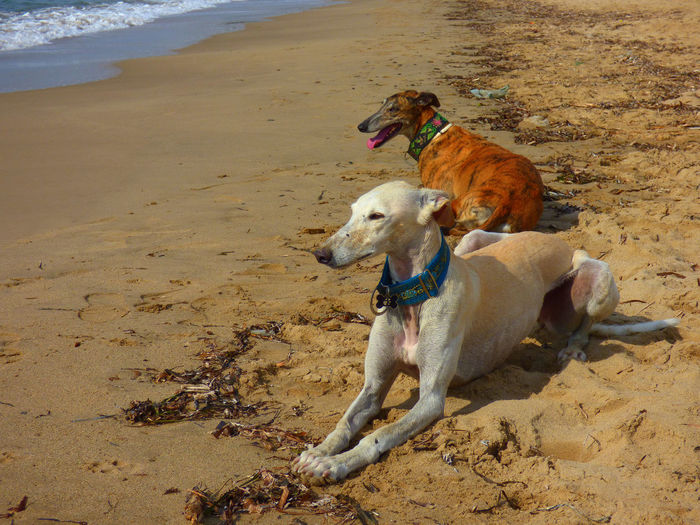High angle view of greyhound dogs lying on sand at beach