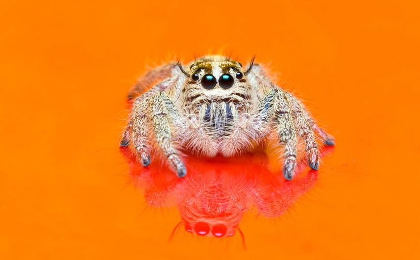 Close-up of spider on orange background
