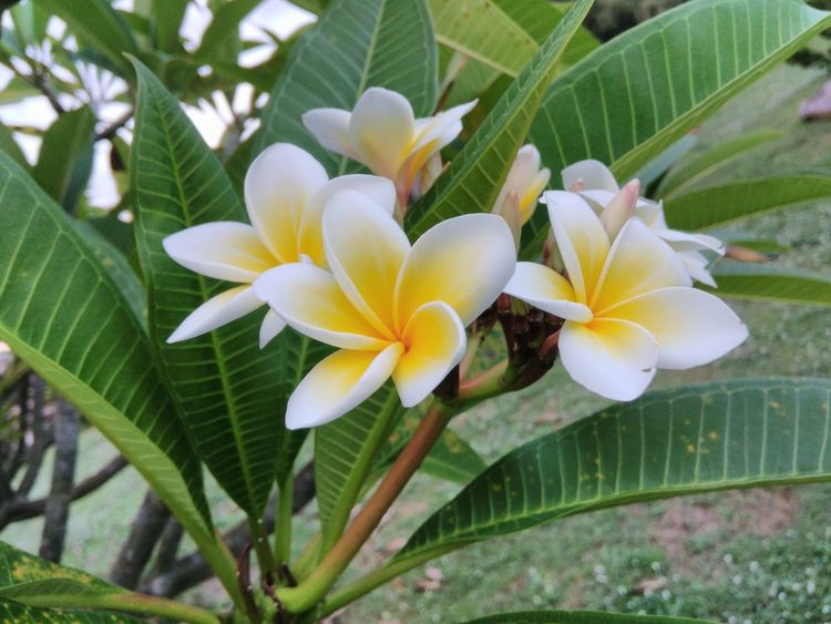 Freshness Frangipani Fragility Close-up Flower Head Flower Leaf Petal Nature Beauty In Nature Plant Green Color Outdoors Growth Day Yellow No People Plumeria Plumeria Blossoms