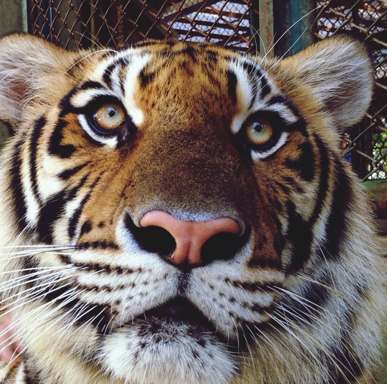 Close Up View Of Tiger