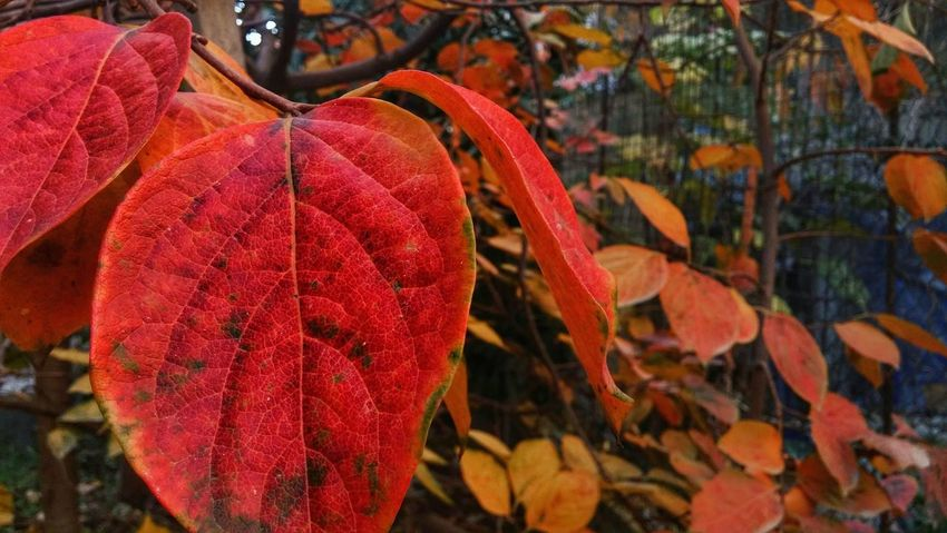 Day Gunes Manzara Autumn Leaf Change Red Outdoors Hanging Beauty In Nature No People Nature Tree Close-up Branch