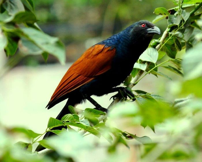 Coucal Crow Pheasant
