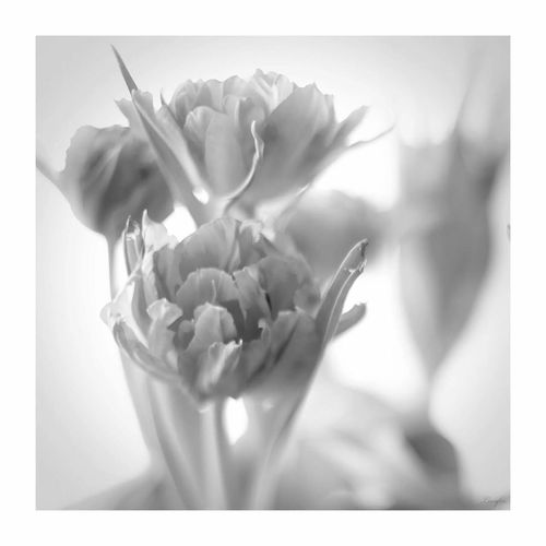 Tulpi Tulpen Laleh Monochrome Black And White Schwarzweiß Fine Art Photography Blackandwhite Photography Black & White