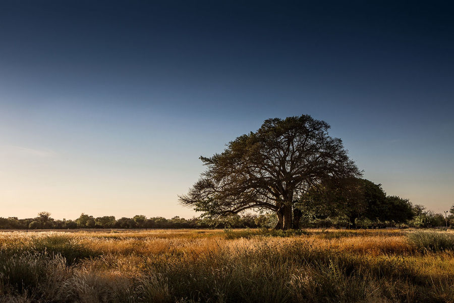 african tree African Tree Blue Day Landscape Nature No People Outdoors Silhouettes Single Tree Sky Sunset Tree