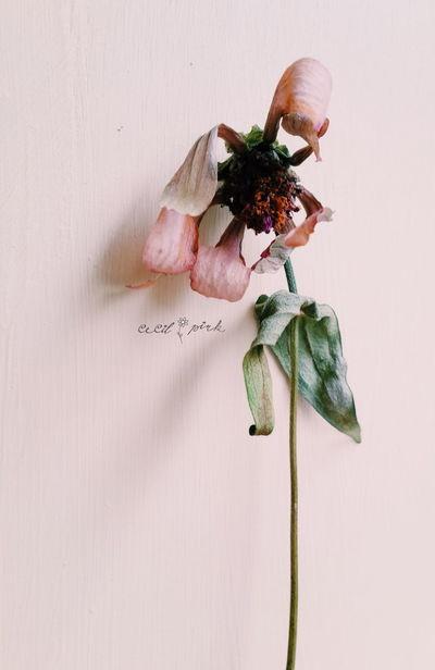 Wilted Flower Beautyofdecay Zinnia  Eye4photography