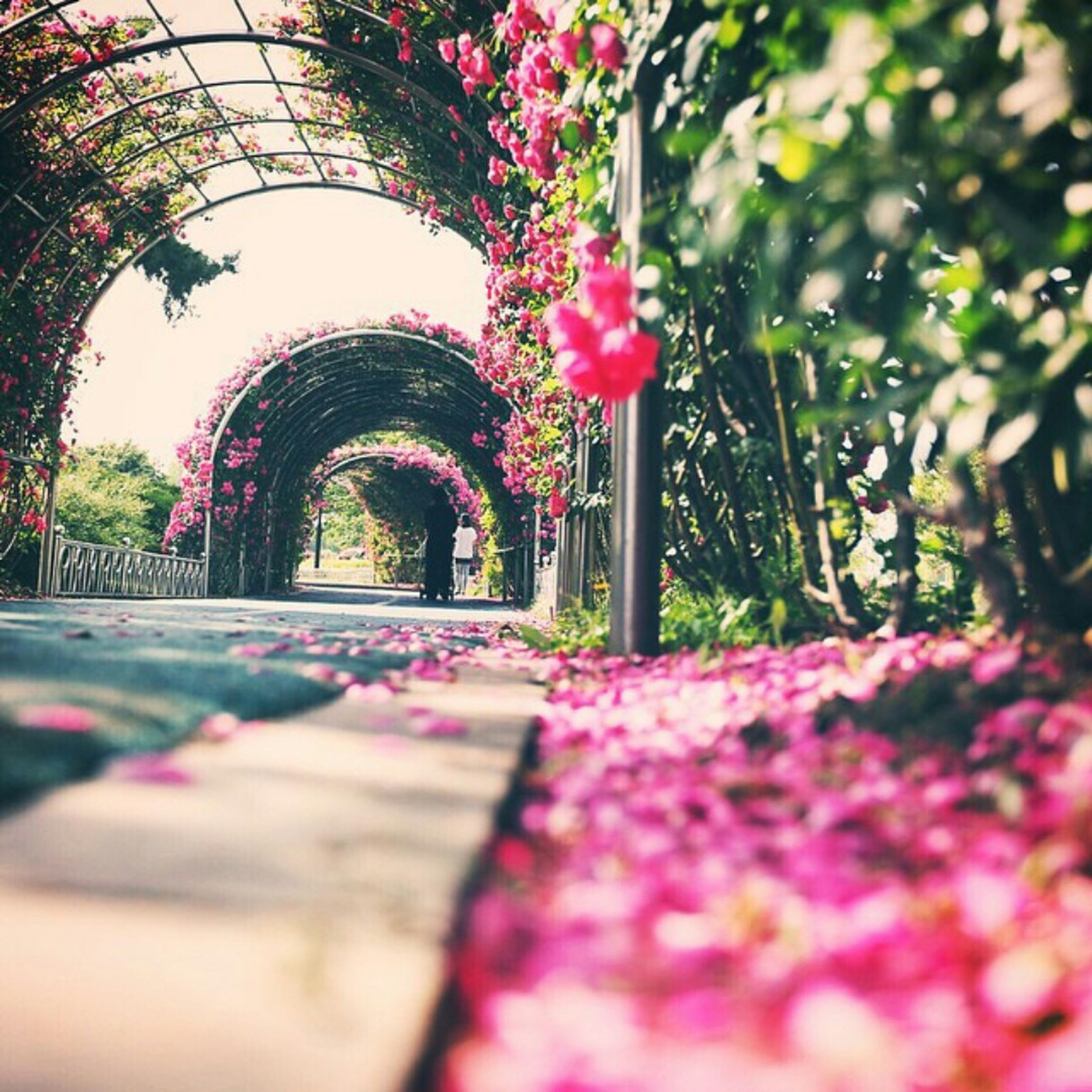 tree, flower, pink color, park - man made space, growth, surface level, selective focus, the way forward, plant, nature, day, footpath, arch, sunlight, outdoors, empty, bench, freshness, no people, walkway
