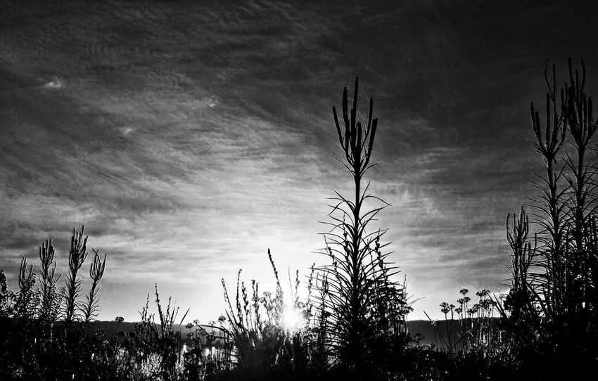 Beauty In Nature Day Growth Low Angle View Monochrome Nature No People Outdoors Plant Saguaro Cactus Scenics Silhouette Sky Sunset Tranquility Tree The Week On EyeEm EyeEmNewHere Postcode Postcards