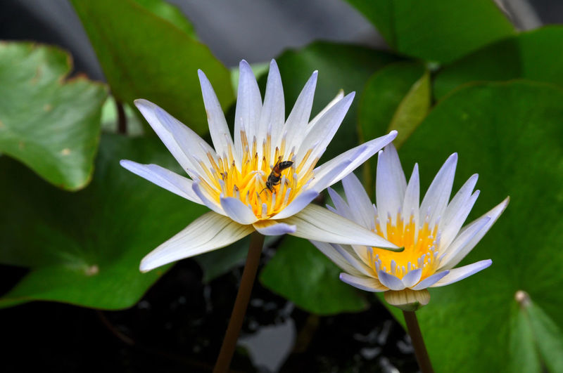 High angle view of insect on water lily