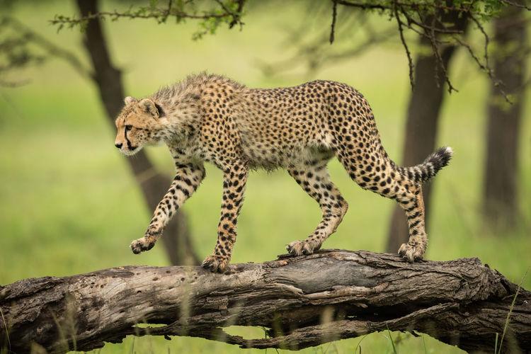 Cheetah cub walking along log lifting paw