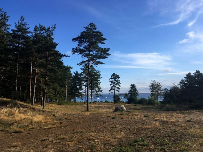 Taken on the island of Sydkoster in August 2018. Cirrus Clouds Cirrus Blue Sydkoster Koster Islands Koster Sea Coniferous Woodland Coniferous Bay Sea Coniferous Forest Coniferous Tree Heathland  Sailing Boats Sailing Boat Pine Tree Stone Outdoors No People Day Environment Cloud - Sky Forest Landscape Nature Field Land Sky Plant Tree