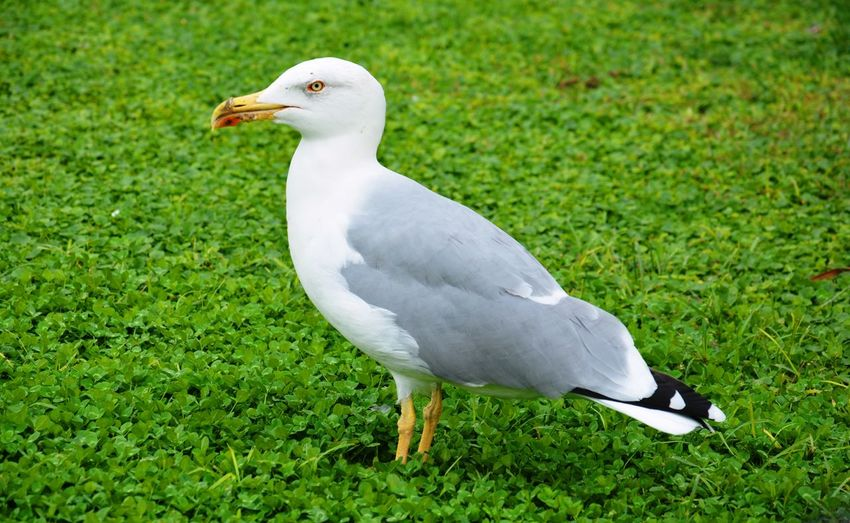 Seagull seen in the Vatican Animal Bird Gull Möwe No People One Animal Seagull Side View Vatican Vatikan Grassy Field